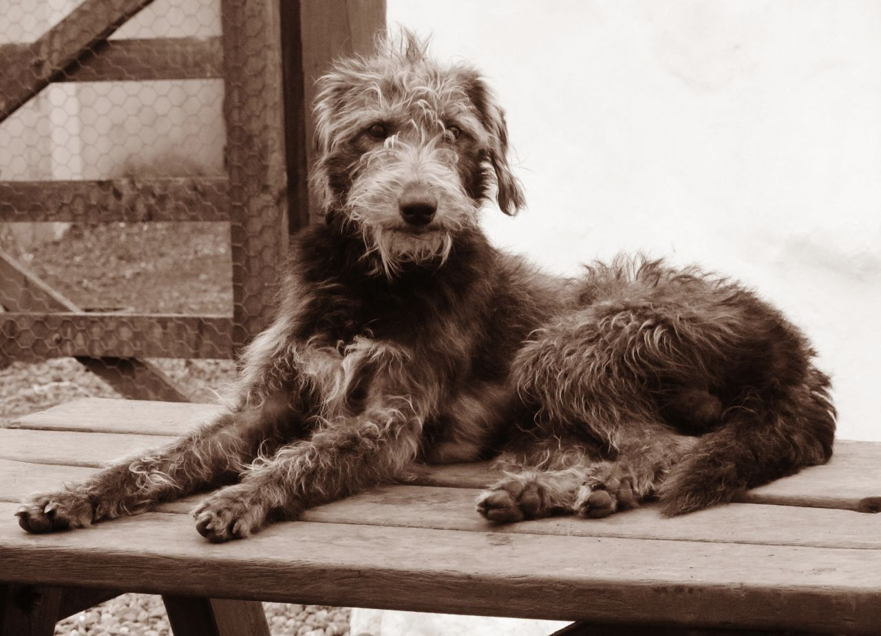 Welcome To Searchpp Com Bedlington Whippet Stud Dog Beautiful Dogs