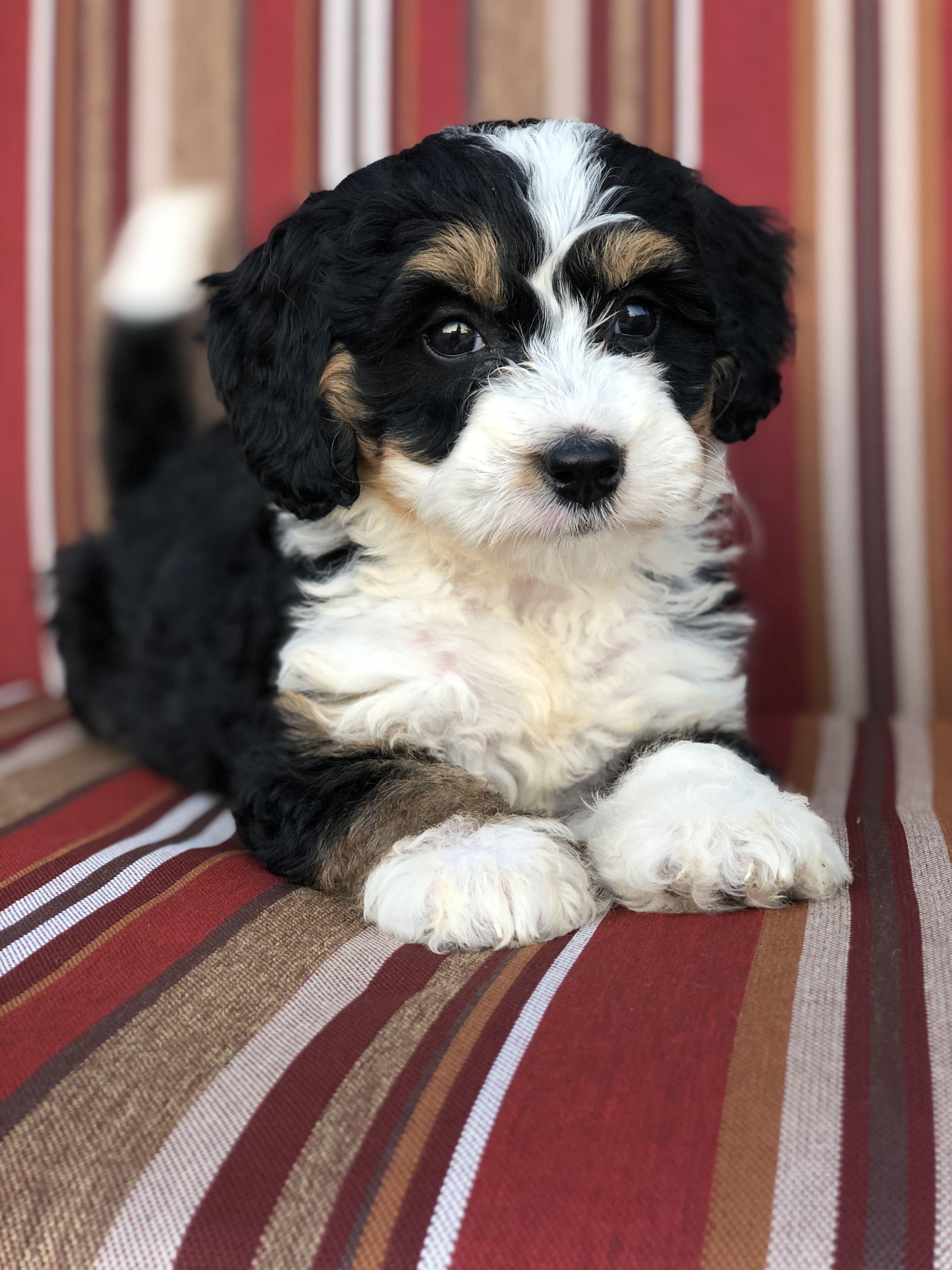 Mini Bernedoodle Puppies For Sale Mini Bernedoodle Puppies