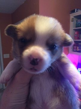 Litter Of 4 Pembroke Welsh Corgi Puppies For Sale In Columbus Ga