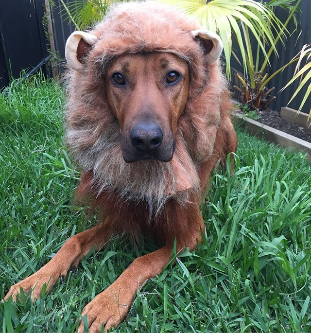 Mum Said I Could Be Anything So I Decided To Become A Lion Raaawww Beautiful Dogs Lion Dog Gold Coast Australia