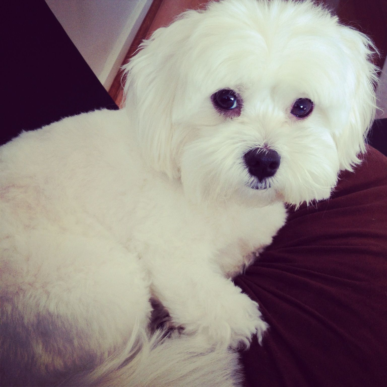 Poppy Maltese Shitzu Cross Dog Pet Beautiful Dogs Maltese