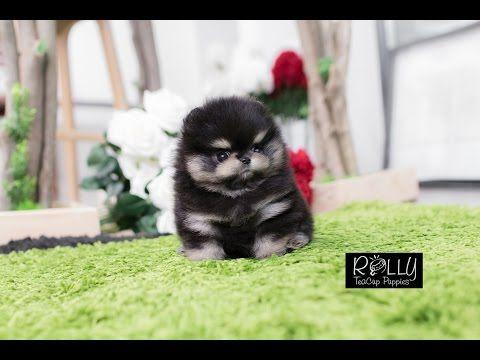 True Teacup Black Pomeranian Teddy Bear!! Kasey Rolly