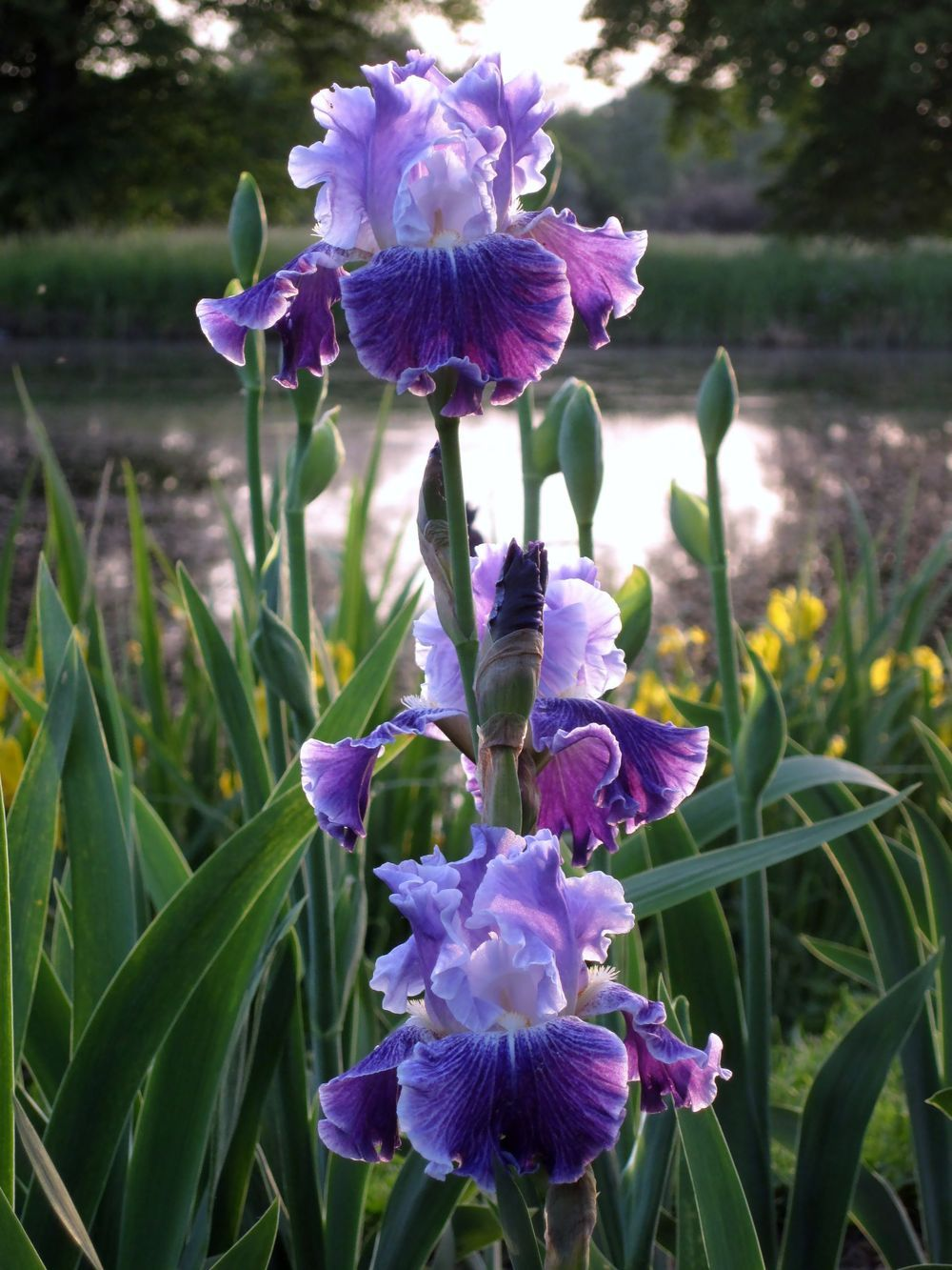 Tall Bearded Iris Iris Fancy Dress In The Irises Database National Gardening Association Iris Flowers Iris Garden Flowers Perennials