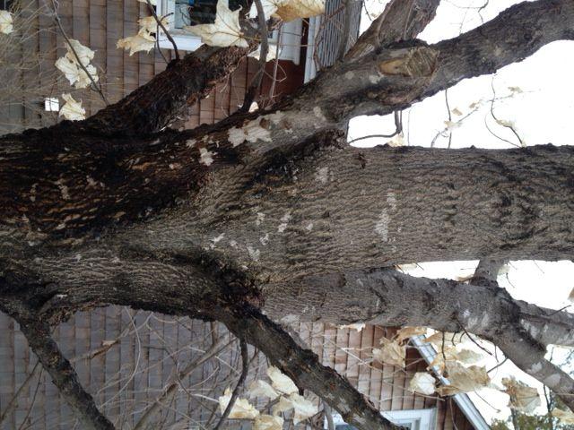 Maple 14 Yrs Original Maple Tree Trees To Plant Tree