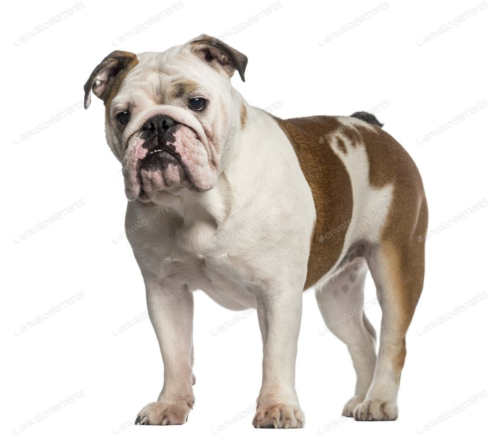 English Bulldog Standing 8 Months Old By Lifeonwhite S Photos