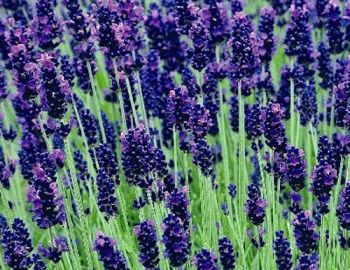 Lavender Hidcote Cottage Garden Plants Van Meuwen This Rhs Agm Variety Is One Of The Best Known English Lavenders And Deservedly Por