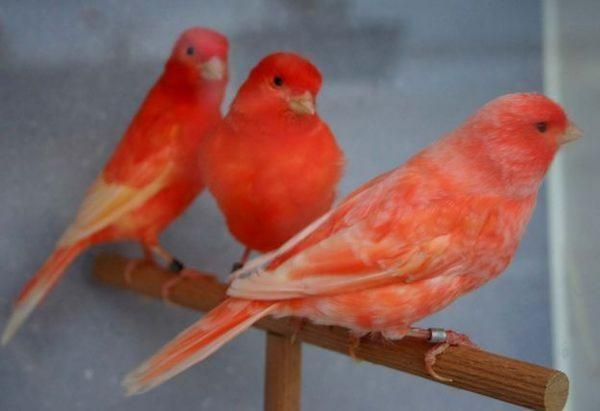 Red Siskin Information