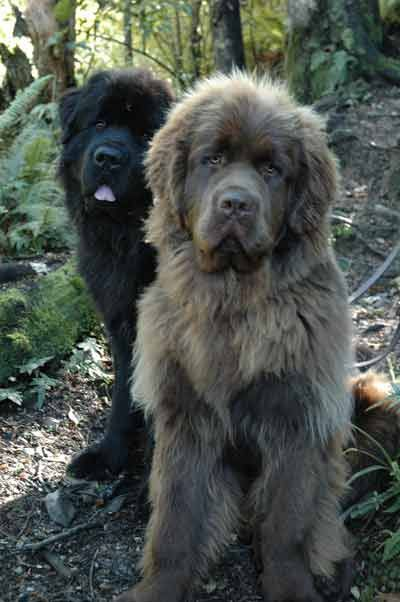 Newfoundland Dog Info and Pictures | Dogs and relatives | Massive