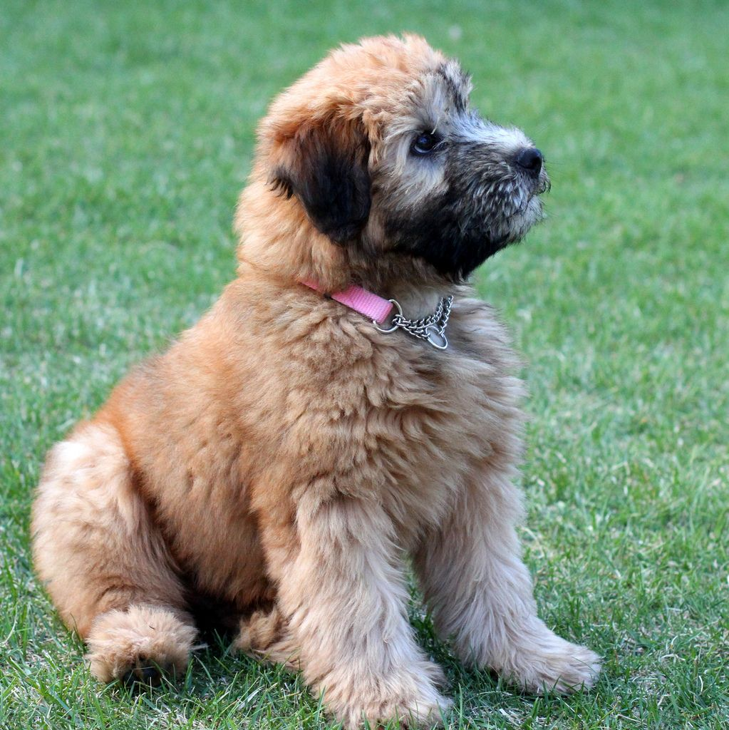 Images For Soft Coated Wheaten Terrier Puppy Cut