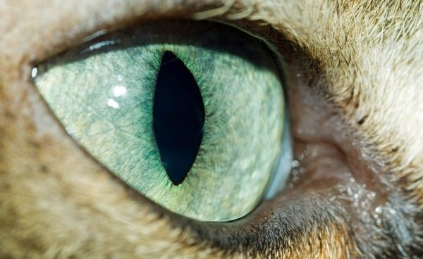 Pin By Kimberley Jumper On Anatomy Of A Cat Pinterest Eye And Cat