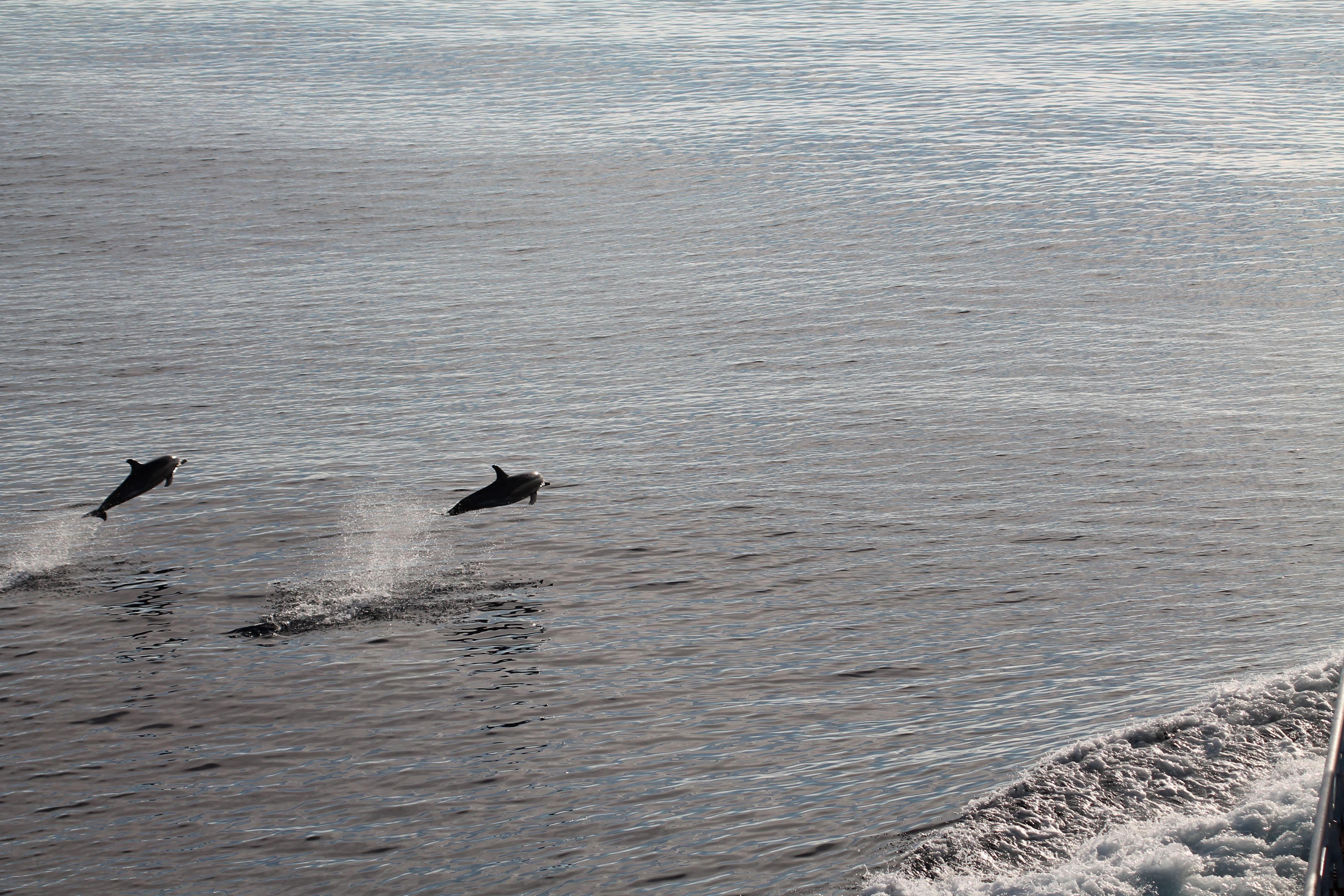 Golfinhos Atlântico 2008