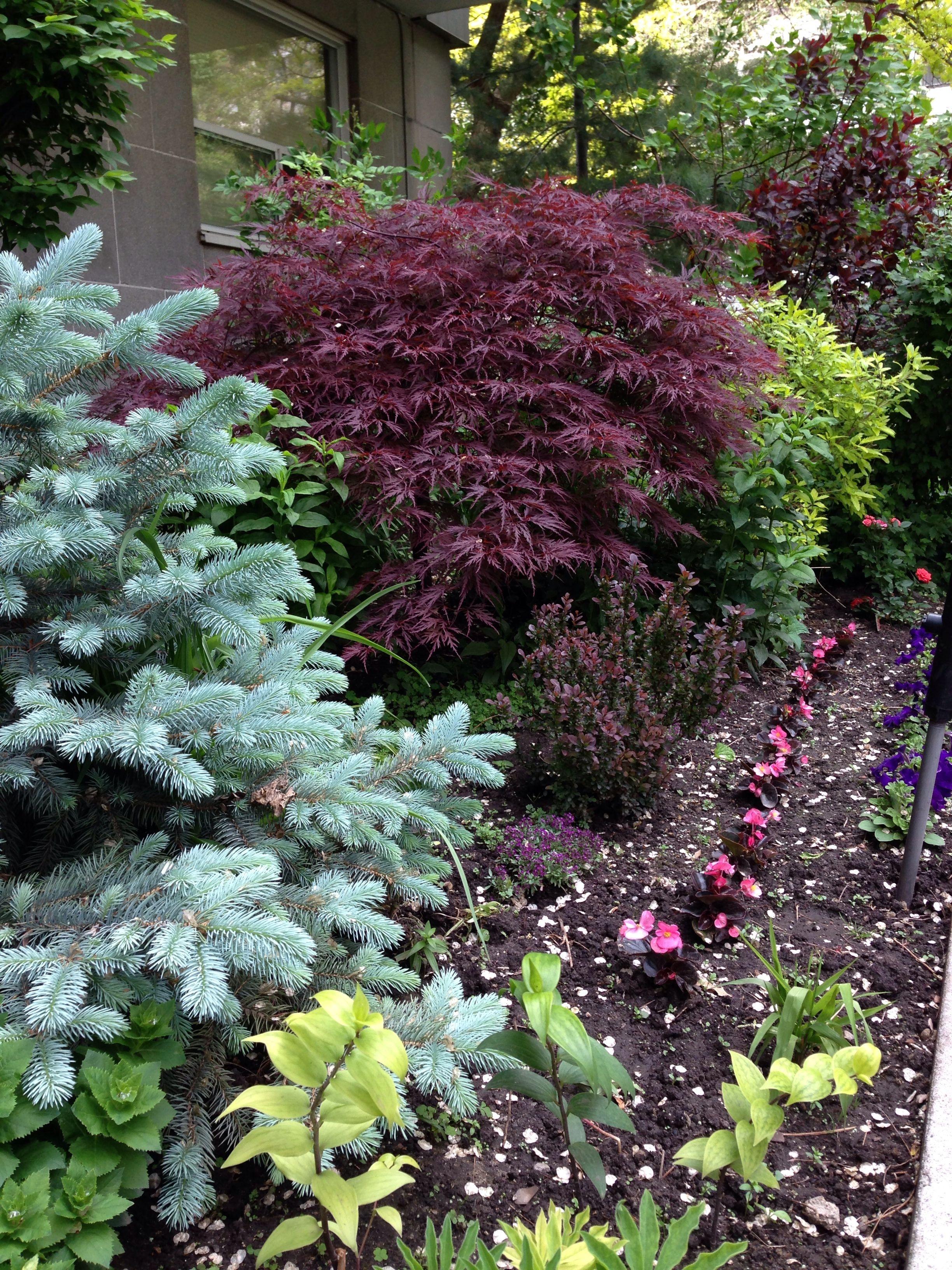 Dwarf blue spruce japanese maple 3 jun 2014 city park for Japanese landscaping plants