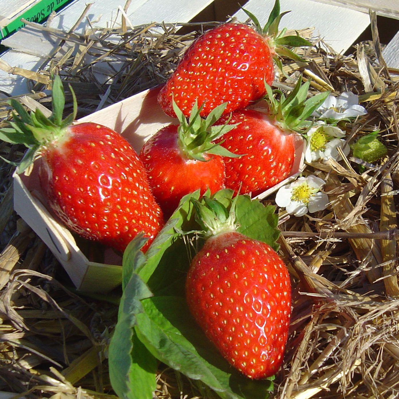 cultiver les fraisiers jardin pinterest cultiver jardinage et potager. Black Bedroom Furniture Sets. Home Design Ideas