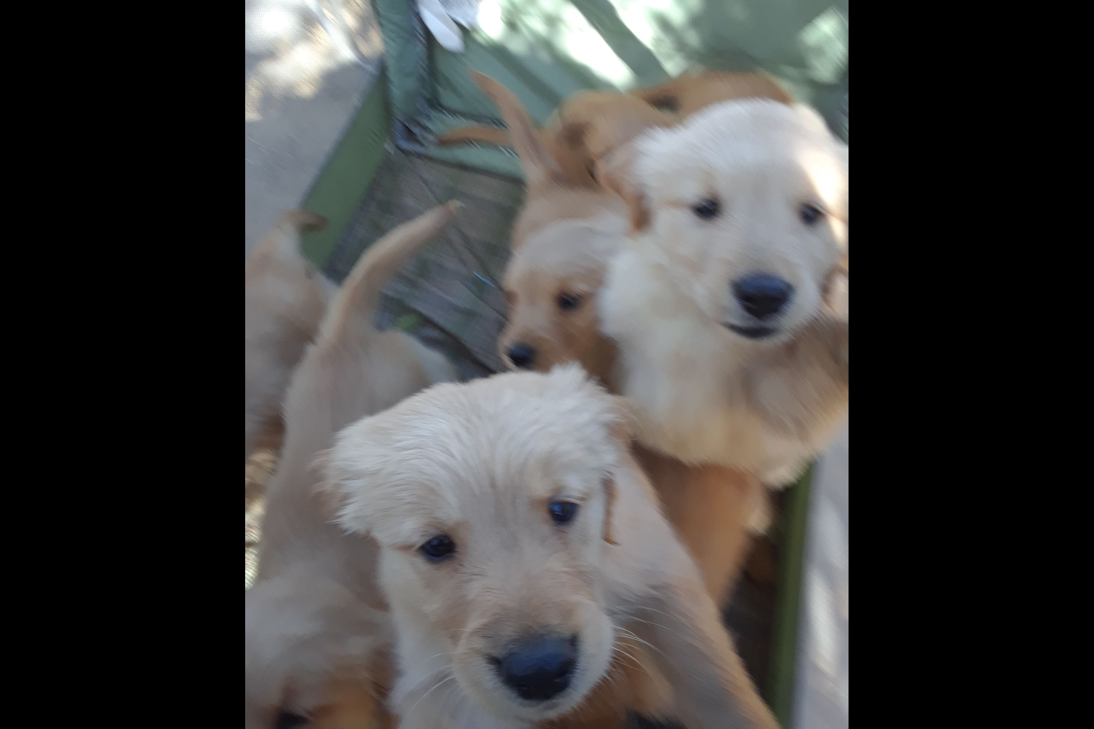 Laurie Unsworth Has Golden Retriever Puppies For Sale In Gilroy Ca On Akc Puppyfinder Golden Retriever Retriever Puppy Retriever