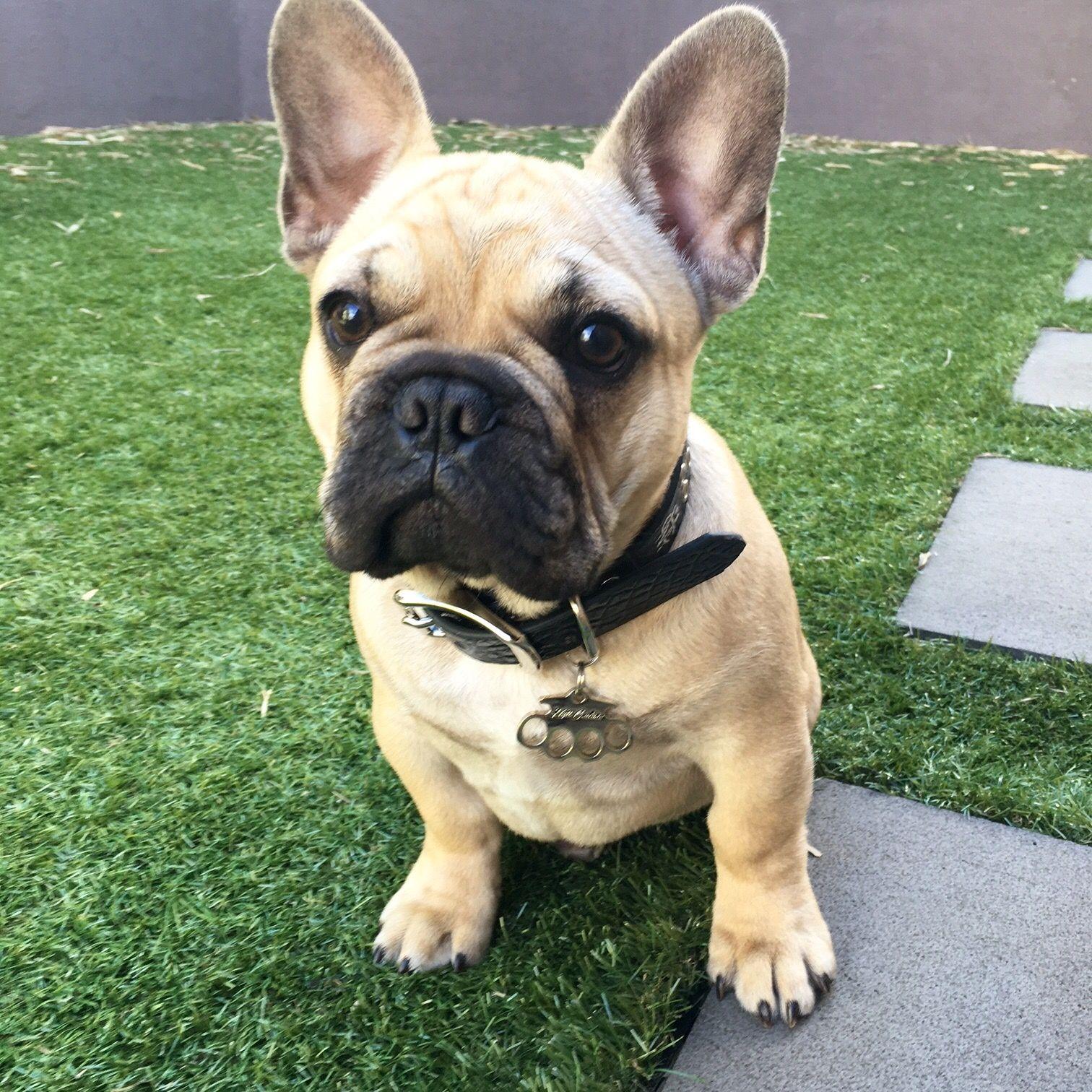 Louis From Australia Says Hello Frenchbulldog Frenchie