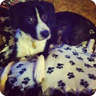 Border Collie Mix Dog For Adoption In China Michigan Ollie