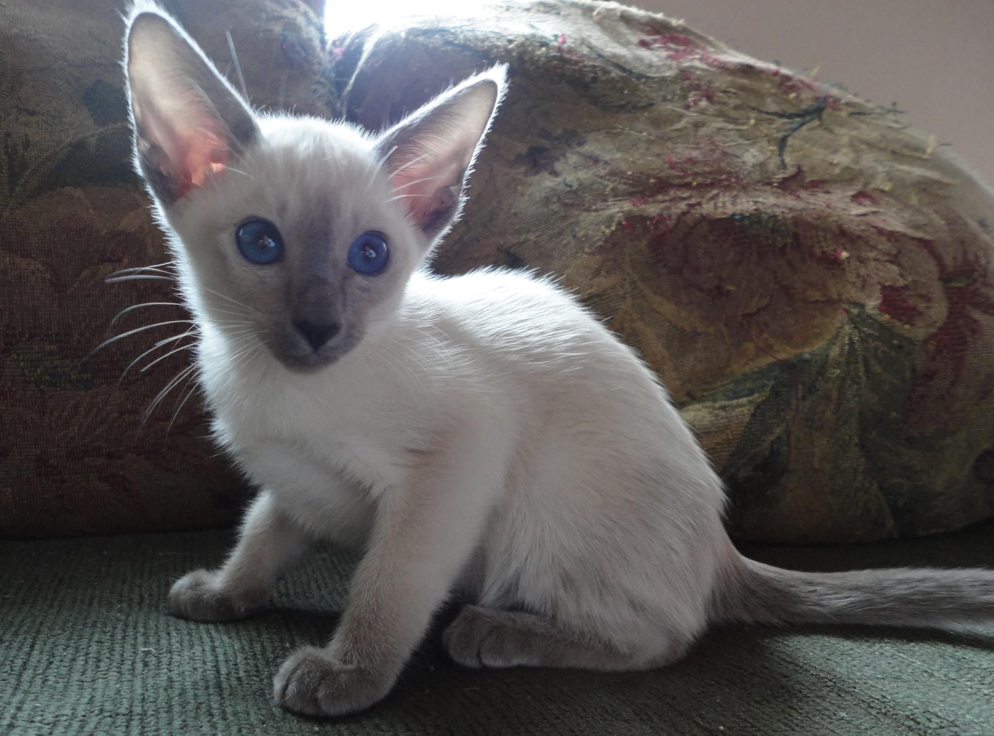 true siamese make me smile. another creature on my