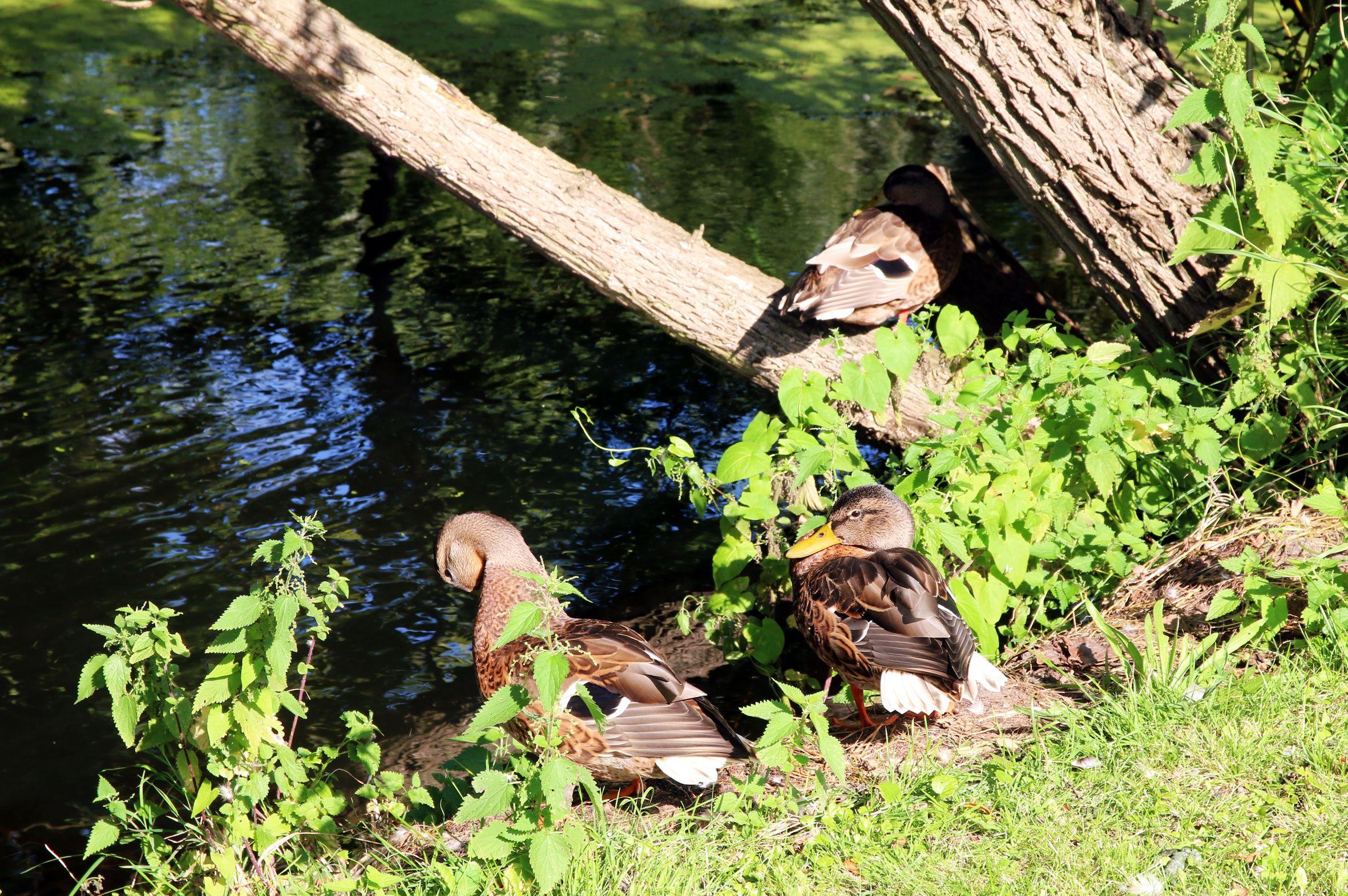 Enten an der Wasserburg