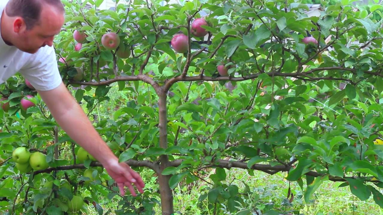 Growing Apples on Espalier Tree Espalier fruit trees