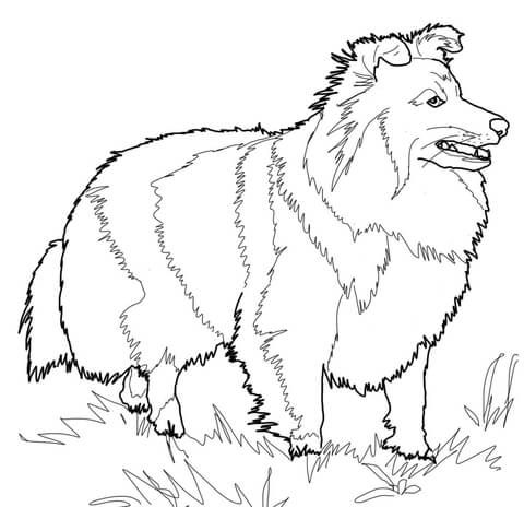Shetland Sheepdog Coloring Page From Dogs Category Select From