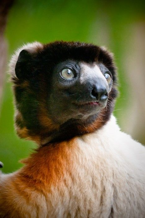 Sifakas, a primate, are a type of lemur from Madagascar by brume d