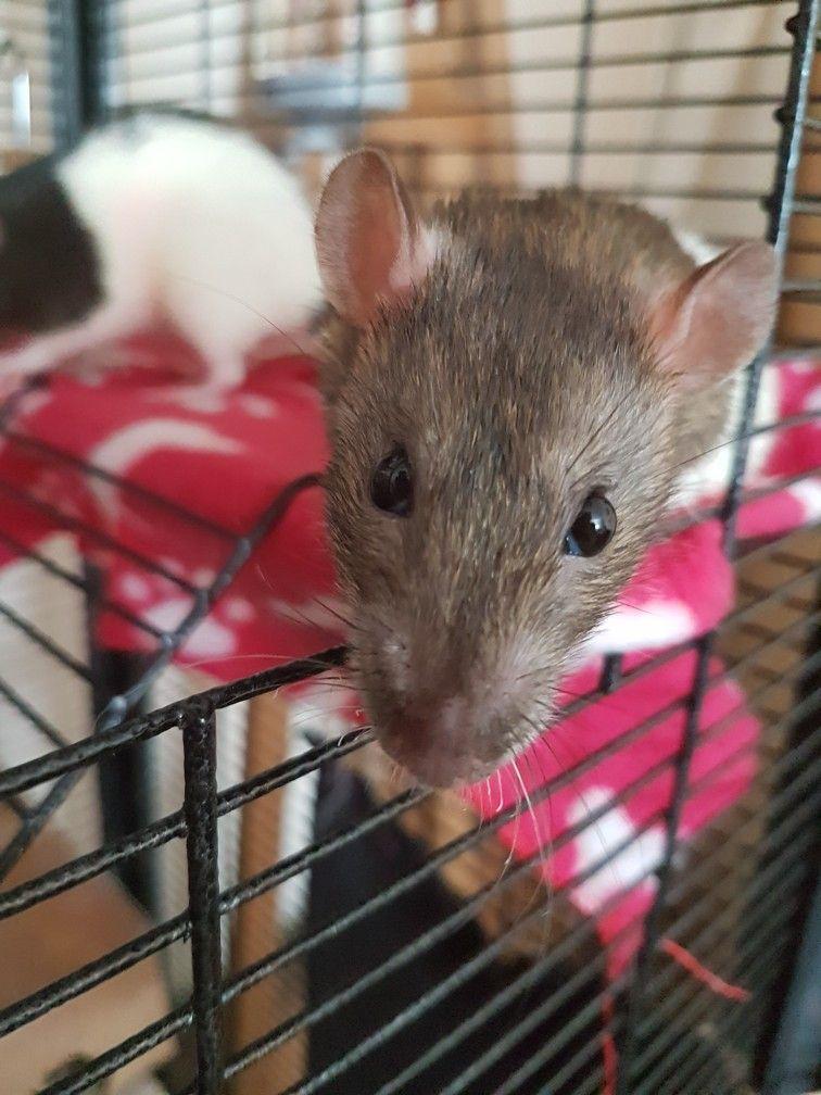 Hooded Agouti Female Rat Beautiful Barbara Pet Rats Pets Fancy Rat
