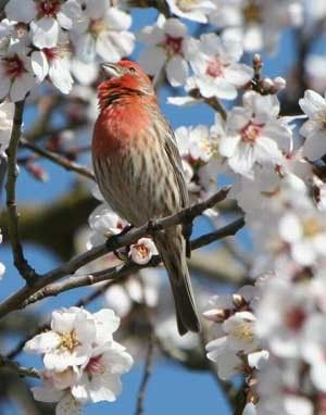 (¯`•.•´¯)¸•´¯`☆  .`•.¸¸.•´♥House Finch The Great Backyard Bird Count by Tiny Gehrke