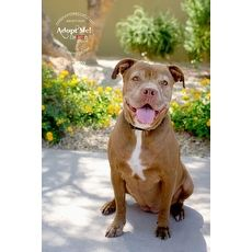 English Bulldog For Adoption In Goodyear Arizona American