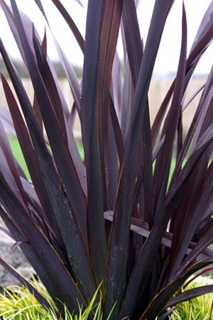 Phormium black adder new zealand flax growing things for Dark ornamental grasses