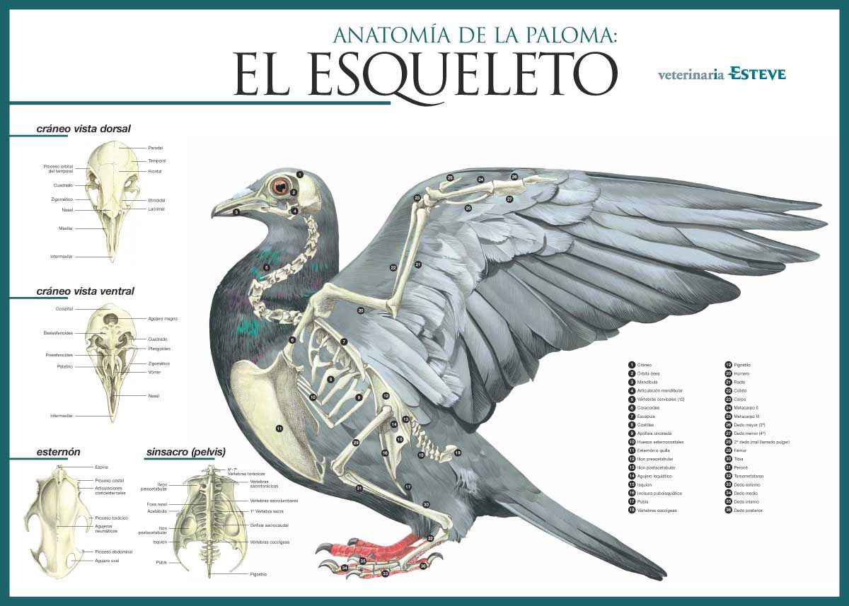 hight resolution of el esqueleto de la paloma pigeon skeleton diagram pombo correio animais desenho de
