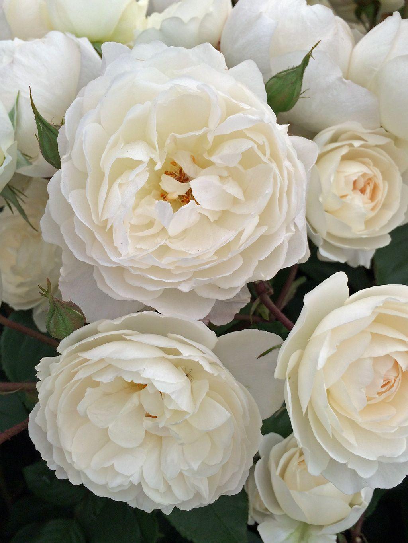Rosa 'Desdemona' new white English rose English roses