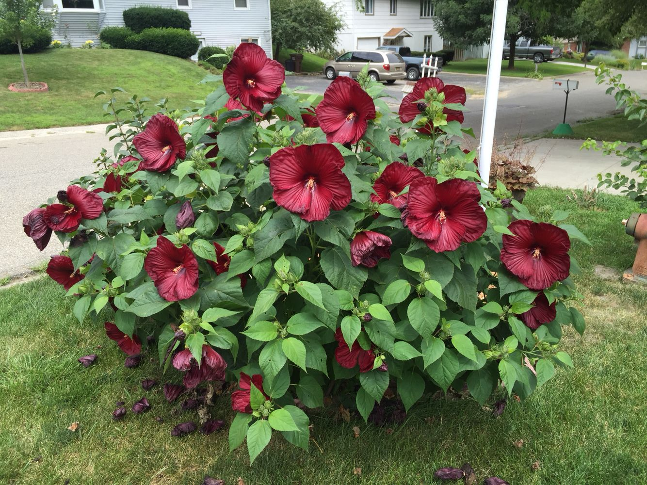 Luna red cold hardy hibiscus july 2015 hibiscus for Landscape flowers and plants