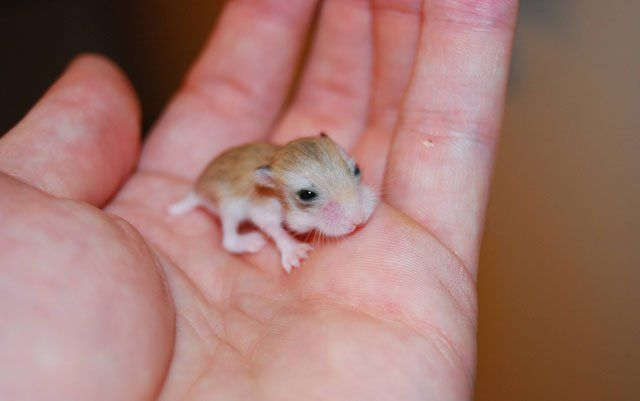 Super Tiny Baby Hamster R Aww Funny Hamsters Baby Hamster Cute Baby Animals