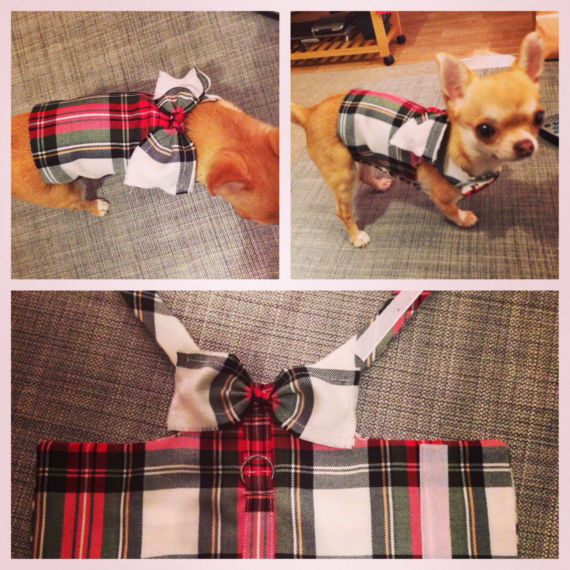 Peaches The Chihuahua In Her Diy Handmade Tartan Dog Harness With