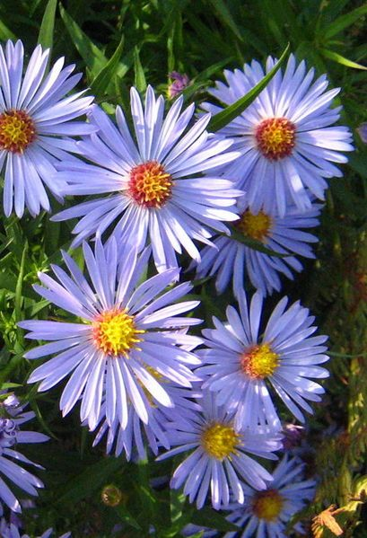 Aster Daisy Periwinkle Plants Succulents Daisy
