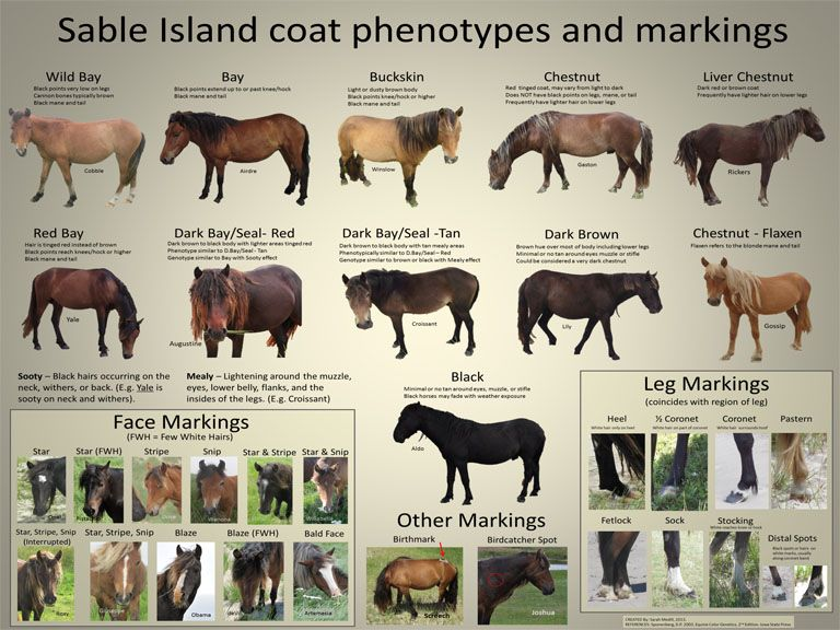 Ecology Evolution And Conservation Of The Sable Island Horses