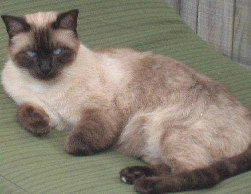 Lost Ragdoll X Layanese Cat North Lakes Qld Lost Cat Pretty Cats Cute Animals