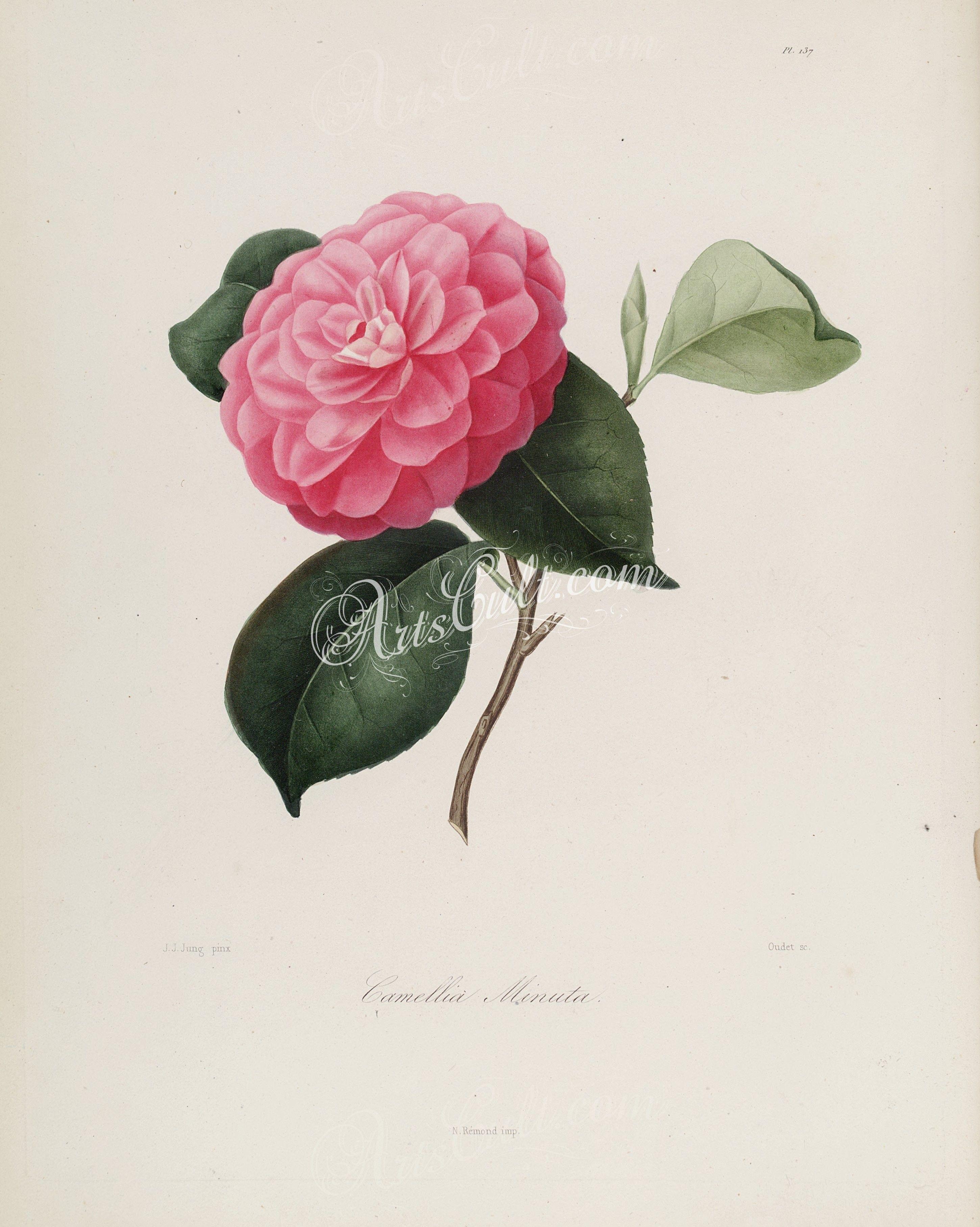 camellia minuta   ...