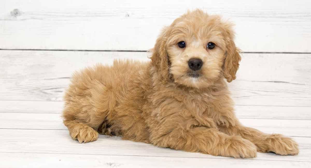 Goldedoodle Puppies In 2020 Golden Retriever Cute Dogs Golden Retriever Poodle Mix