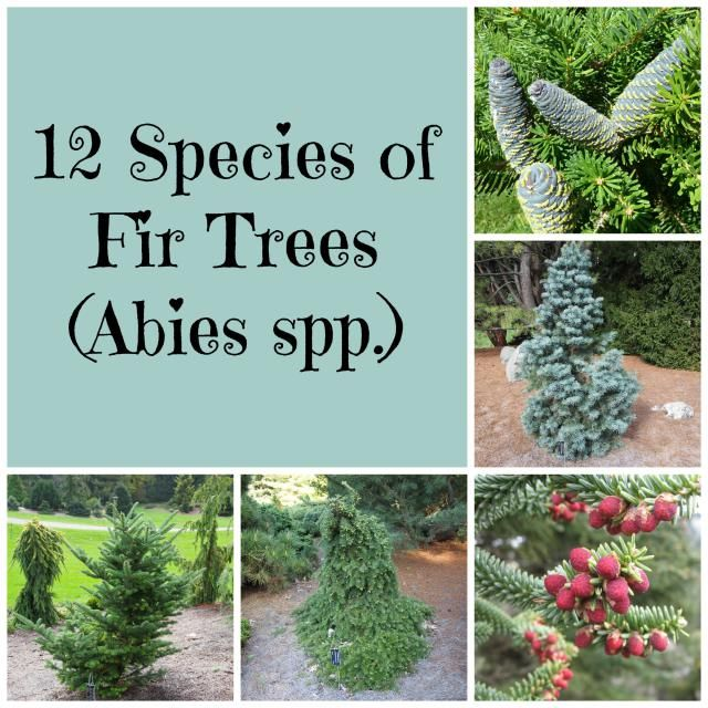Need An Evergreen Tree Check Out These 12 Fir Tree