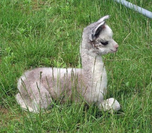 Baby Llama Omg Animales Adorables Animales Bebe Bonitos