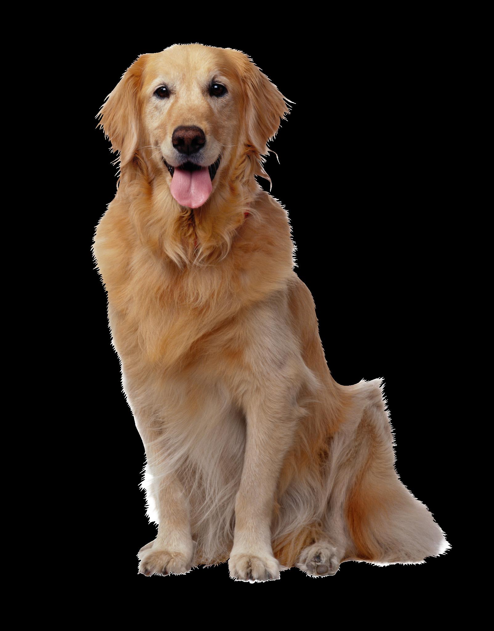 Golden Retriever Puppies Dog Most Popular Dog Breeds Positive Dog Training Popular Dog Breeds