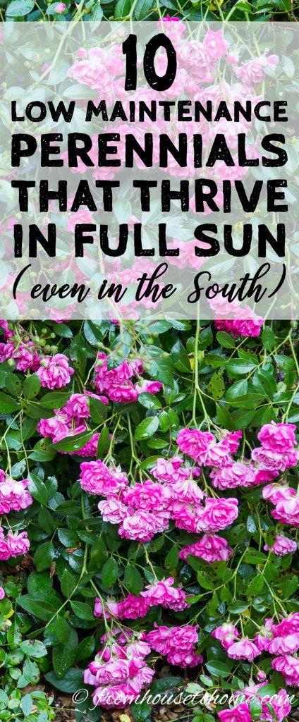 Full Sun Perennials 15 Beautiful Low Maintenance Plants That Thrive In The Sun Gardening From House To Home Full Sun Perennials Low Maintenance Plants Sun Perennials