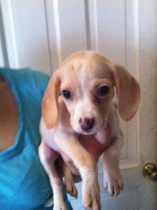 Adopt Marsha On Petfinder Beagle Dog Beagle Mix Adoptable Beagle