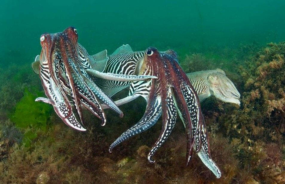 cuttlefish family   Ocean creatures Underwater creatures ...