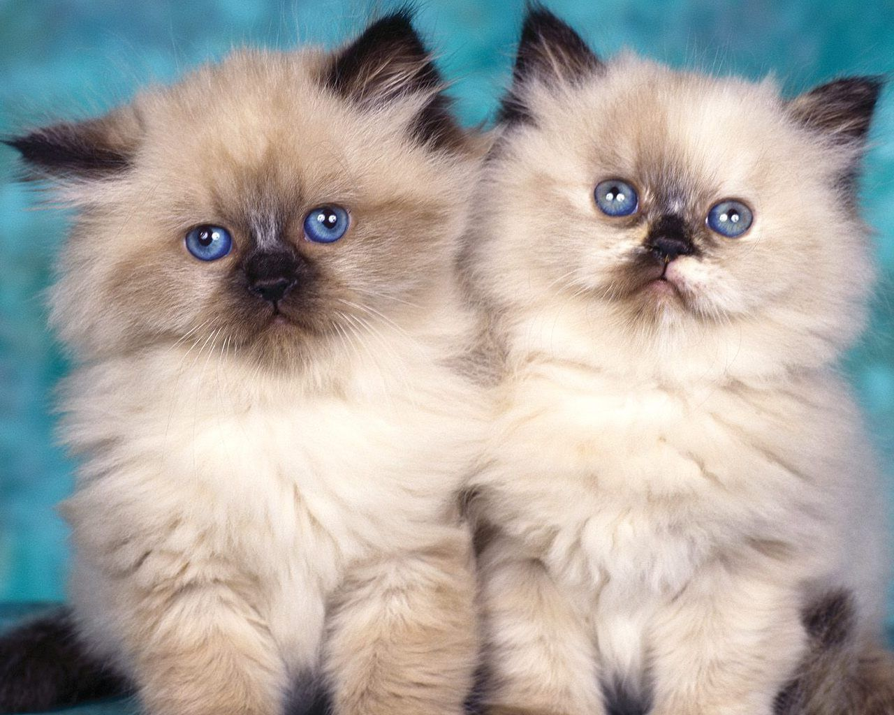 Pictures of himalayan cats and kittens