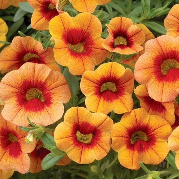 New Unique Melon Orange Petunia Papaya Petunias Flower Bed Plants Orange Plant