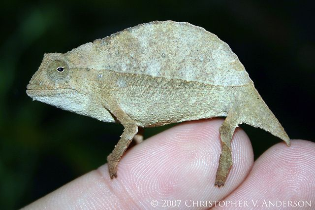 Rieppeleon Brevicaudatus Bearded Pygmy Chameleon Reptiles And