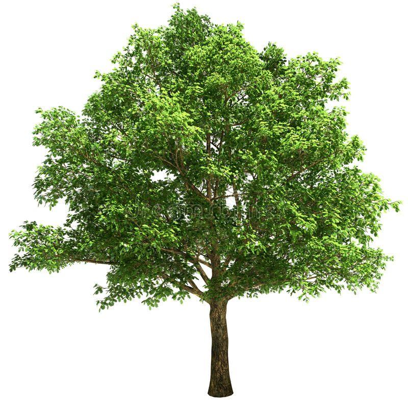 Big Oak Tree Isolated On White Sponsored Oak Big Tree White Isolated Ad Tree Photoshop Plants Garden Illustration