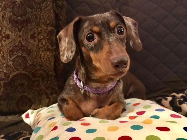 Adopt Reese Adoption Pending On Dachshund Dog Dachshund Adoption